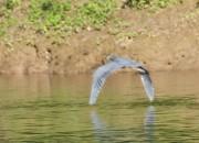Belize-Aguacate-Birding