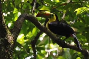 Belize-Tucan-El-Pilar